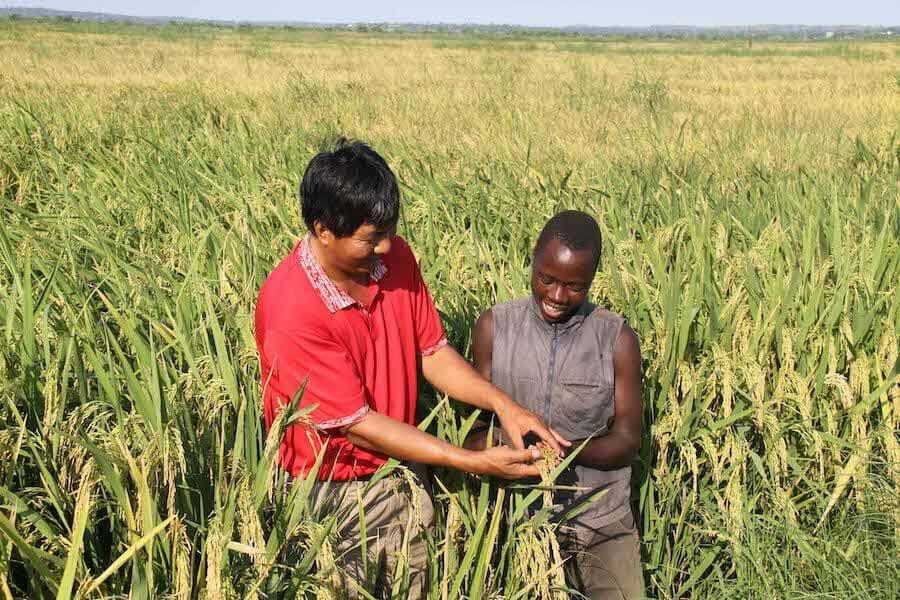 In the paddy fields of the Hubei-Gaza Friendship Farm in Gaza province, Mozambique, 17 April  2010 [Xinhua/Liu Dalong]